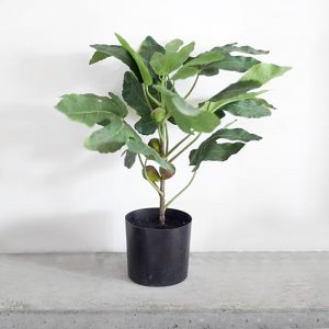 cây vả mỹ giả